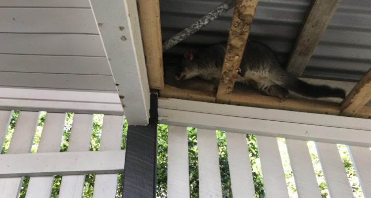 PROGRESS PHOTO - The resident brush tail possum trying to take up residence again after being evicted during the initial demolition phase!